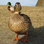 Eine stolze Ente am Heiligensee